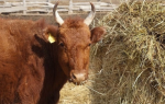 Нодулярный дерматит у крупнорогатого скота: симптомы заболевания, способы лечения, использование народных средств