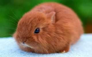 Лисий кролик: основные особенности породы, правила разведения, составление рациона