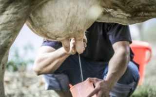 Почему корова дает молоко с кровью: основные причины, возможные заболевания, методы лечения
