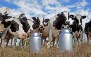 Состав молозива коровы, основная польза и правила употребления продукта