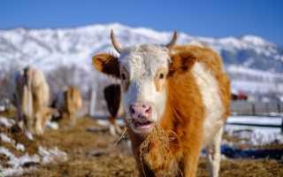 Правила кормления коров зимой: составление рациона для разных видов КРС, важность использования витаминов