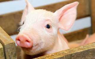 Особенности строения свиной кожи, важные функции, возможные заболевания