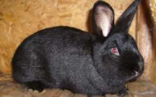 Черно-бурый кролик: характерные особенности породы, правила ухода и кормления