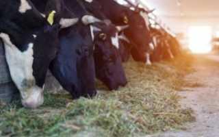 Диктиокаулез у коров: причины заболевания, симптомы, основные методы лечения и профилактики