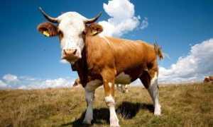 Сколько весит теленок: что влияет на формирование массы тела, правила откорма, особенности взвешивания