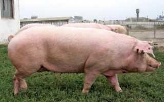 Преимущества и недостатки украинской степной белой породы свиней, правила выращивания