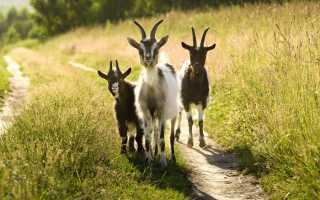 Продолжительность жизни коз: влияние породы на срок жизни, правила ухода за животным