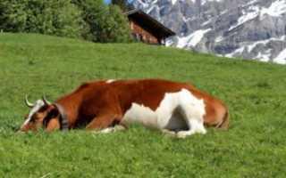 Как спят коровы: время для качественного отдыха, выбор места для сна