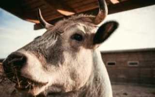 Анатомическое строение черепа коровы и быка, возможные заболевания и правила лечения