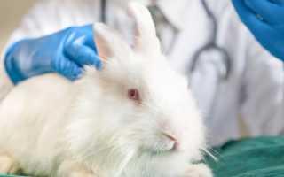 Выполнение искусственного оплодотворения кроликов