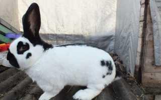 Кролик строкач: преимущества и недостатки породы, правила кормления