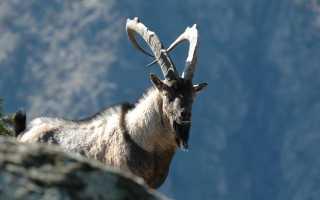 Сарай для коз: основные требования к помещению, правила обустройства, сооружение вольера