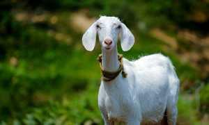 Как назвать козу: правила выбора клички, популярные имена по алфавиту, полезные советы