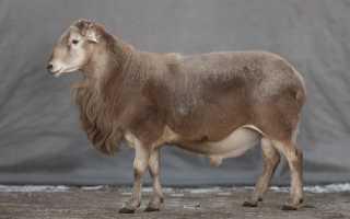 Овцыкатумскойпороды: основные характеристики, правила содержания, особенности размножения