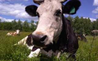 Лишай у коровы: симптоматика заболевания, правила лечения, использование народных средств