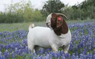 Описание бурской породы коз, особенности разведения, составление правильного рациона