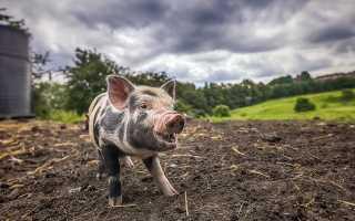 Преимущества и недостатки свиного навоза, виды удобрения, основные характеристики