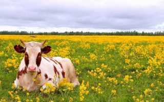 Правила ухода за коровой: гигиена, составление рациона, особенности обустройства коровника