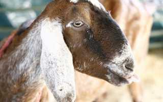 Описание коз породы Нубийская, производительность животных, правила разведения