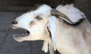 Что делать, если коза кашляет: возможные заболевания, правила лечения и профилактики