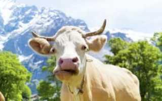 Что делать, если у коровы нет жвачки: методы лечения в домашних условиях