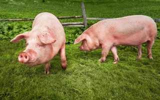 Основные правила при выборе места, температура и уровень влажности в сарае для свиней