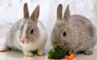 Вязка декоративных кроликов – о чем нужно знать
