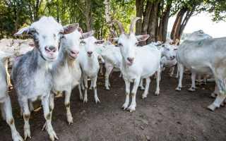 Рентабельность козоводства: какие продукты можно получить с козы, как правильно содержать животное на ферме
