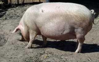 Супоросная свинья: первые симптомы у животного, эффективные методики определения беременности