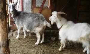 Сколько дней длится охота у коз: правильный выбор козла для случки, виды оплодотворения животных