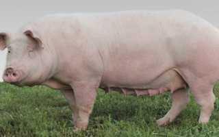 Свиньи мясных пород: основные характеристики, преимущества, плодовитость животных
