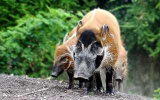 Внешний вид кистеухой свиньи, образ жизни, правила составления рациона