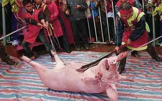 Как режут свиней: пошаговое описание процесса, правила подготовки, способы забоя