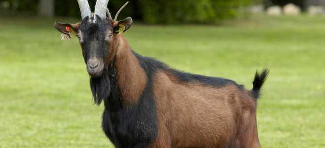 Образ жизни Альпийских козлов, особенности размножения и интересные факты