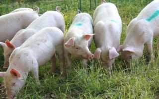 Свиньи Ландрас: преимущества и недостатки породы, правила содержания, рекомендации по составлению рациона