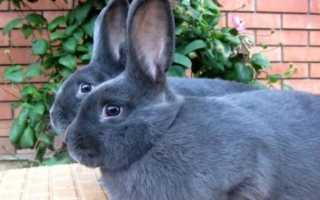 Кролик венской голубой породы: плюсы и минусы, советы по содержанию