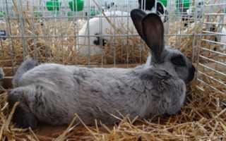 Как разводить кроликов породы серебро: правила составления рациона, уход за питомцами