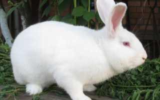 Кролик Паннон: описание породы, правила содержания и кормления