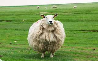 Вес барана: что влияет на мышечный прирост, какие породы будут приносить больше мясной продукции