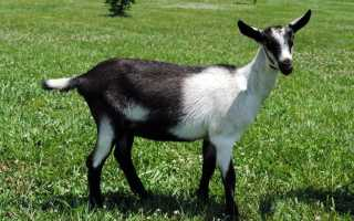 Описание Альпийской породы коз, правила составления рациона и рекомендации по содержанию