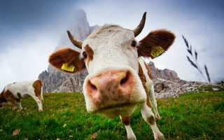 Яловость у коров: причины появления, основные правила лечения, эффективные методы профилактики