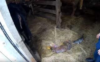Причины выкидыша у коровы, методы лечения, основные правила профилактики