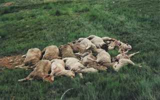 Опасность брадзота овец, первая симптоматика и правила лечения