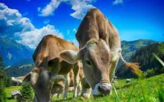 ЭМКАР крупнорогатого скота: симптомы болезни, правила лечения, особенности профилактики