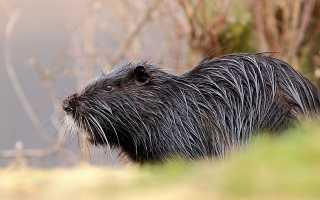 Особенности содержания и разведения нутрии, разновидности животного, правила составления рациона