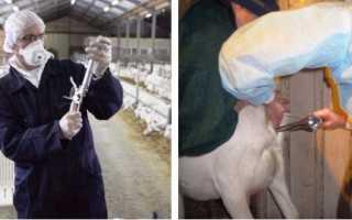 Осеменение коз: использование искусственного метода, его преимущества, пошаговое описание процесса