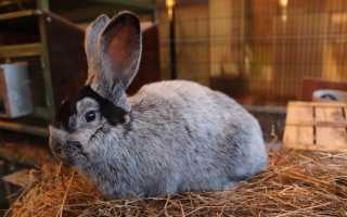 Кролики БСС: описание породы, преимущества и недостатки