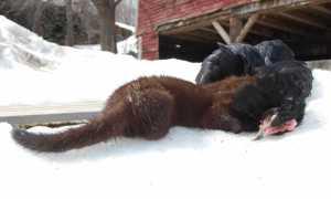 Самые эффективные ловушки для ловли хорька, правила отпугивания хищника