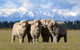 Крупные бараны: распространенные породы, основные особенности животных, правила содержания
