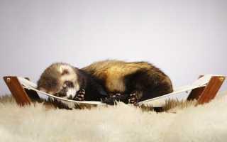 Почему хорек долго спит: основные причины, фазы сна у зверьков, отдых в зимнее время